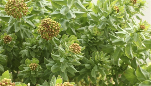 Roseroot (Rhodiola rosea) has been used to treat nervous system ailments, including depression, muscle weakness/fatigue, altitude sickness, and Parkinson's disease. Roseroot is often called an adaptogen, a type of plant that decreases cellular sensitivity to stress. It is believed to optimize serotonin and dopamine levels through monoamine-oxidase inhibition and its influence on opioid peptides.