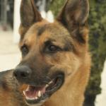 Service Dogs Help Reduce PTSD Symptoms in Veterans